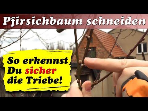 Pfirsichbaum Schneiden Im Frühjahr - Ulrich´s Hof