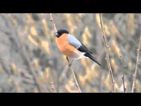 der Ruf des Gimpel - Dompfaff Bullfinch Vogelstimmen Gesang