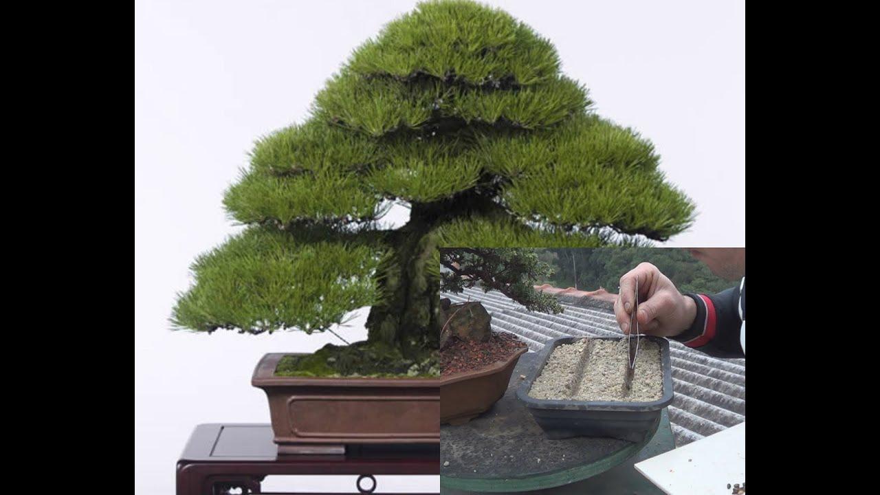 Como fazer bonsai a partir de semente youtube for Comprare bonsai online