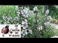 Tuto Jardin Penstemon Digitalis Husker Red Taille Et Entretien Plante Vivace mp3