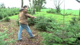 Sapins de Noël : la tradition perdure toujours