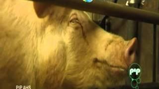 Хазанов - разведение свиней в нии смотреть ютьюб видео на русском языке на портале видеоспаркрф