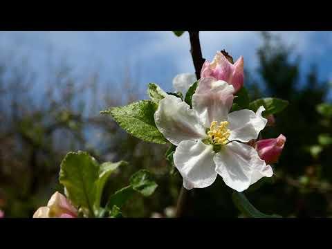 Apfel (Malus) Blüte. Virtueller Rundgang durch die schönsten Gärten. Zu Hause bleiben Digital Travel