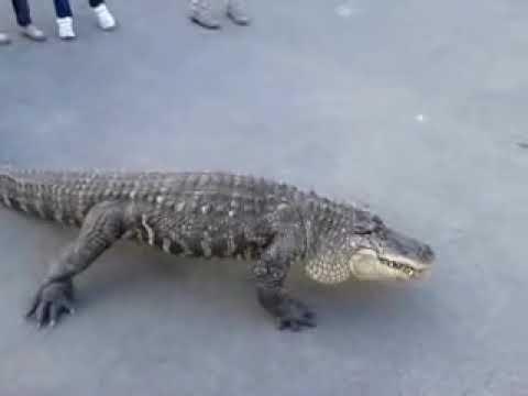 Crocodile in the streets of Estonia