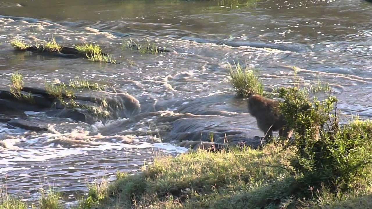River Monkeys Monkeys Crossing a River in
