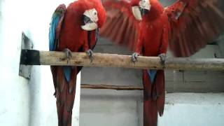 green wing macaw in (Preethi Farms)