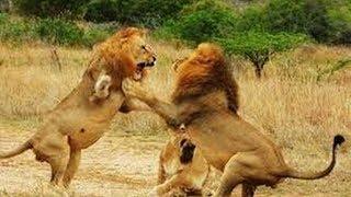 Moments Craziest Animals Fights - Classic fight Lion -  Gorilla Attack