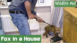 Fox cub rescued from a living room