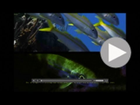 'Fluorescent Goatfish' by Liquid Motion Film (National Geographic underwater series extract)