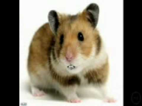 Hamster Dance Song (singing Hamsters) video