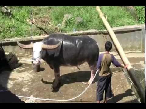 Kebudayaan Tana Toraja - Toraja Culture - Budaya Toraja video