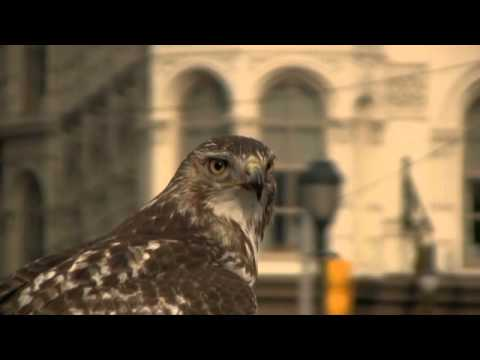 Hawk eating a pigeon in philly - Canon HV40
