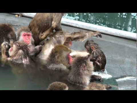 monkeys in hot sping 猿の温泉.mpg