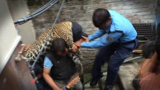 A Leopard Enters a Home in Kathmandu Kuleshower