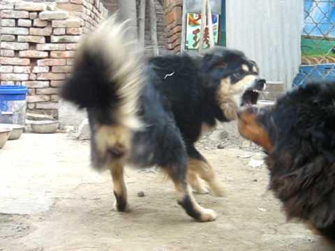 Tibetan Mastiff Videos Youtube