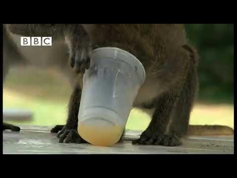 Monos borrachos por ladrones