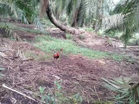 Pikat ayam hutan 2017..si karen..2.