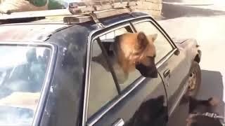 Very Cute German Shepherd Puppies Compilation #1 OMG Moments