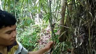 Ciri ciri/tanda tanda paling mudah menemukan bambu pethuk.jika anda menemukannya berarti peluang