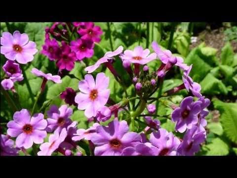 Goovie写眞館 Primula japonica