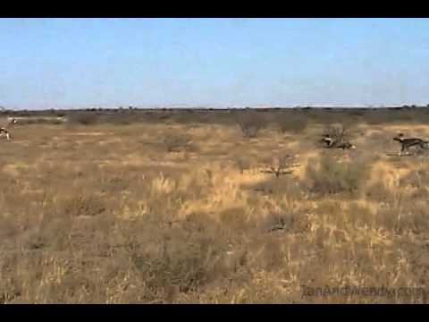More footage of the wild dogs of the Central Kalahari.