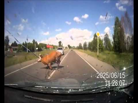 Man hits cows having sex on motorway thumbnail