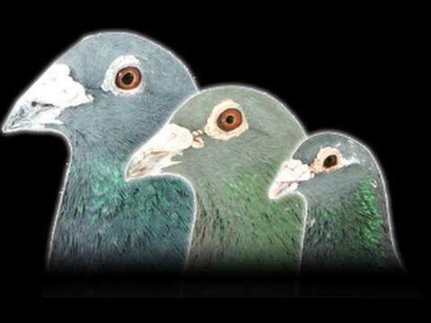 National Geographic Posta Kuşları Belgeseli