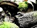 Poison Frogs gifkikkers Dendrobates tinctorius