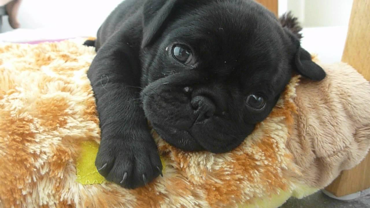 Black Pug Dogs Puppies