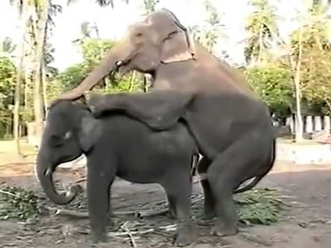 Live Elephant Mating In Kerala video