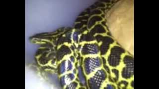 My update on my Female and male anaconda 01/12/13