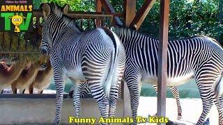 ZEBRAS eating straw in zoo garden - Funny Animal World - Animais TV