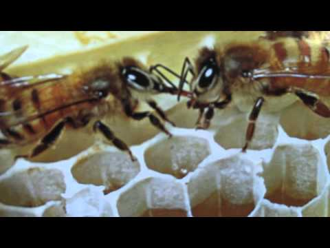Lavender Bee Farm - Colony Collapse Disorder