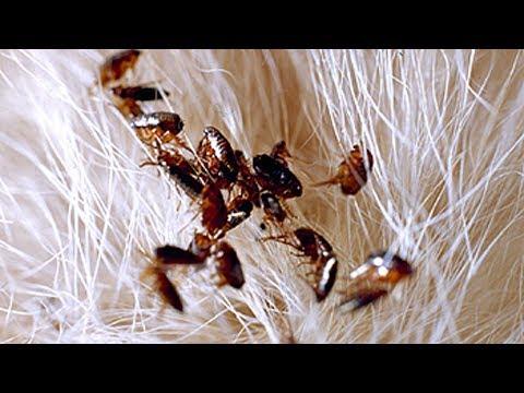 Pulgas videolike - Matar pulgas en casa ...
