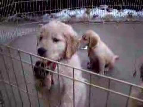 Barking Puppies
