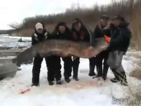 рыбалка на крупного сома