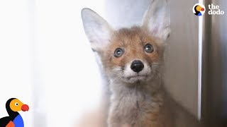 Rescued Fox Released Into The Wild With His Best Friend | The Dodo