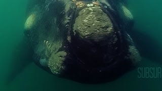 Buceo. Ballena Franca Austral. Underwater. Southern Right Whales. SubSur.