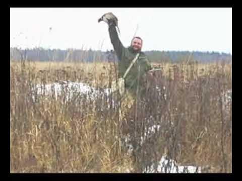 охота с лабрадором на вольерного фазана