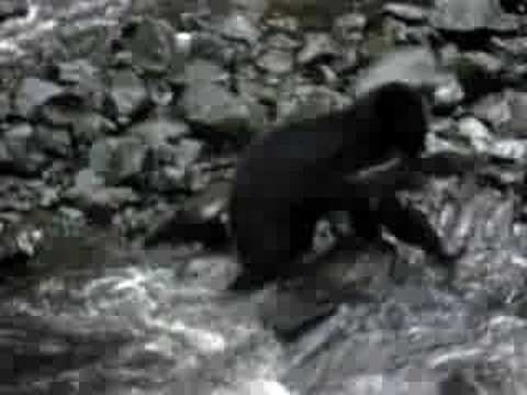 Bear Fishing Ucluelet, B.C.