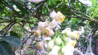 Ong lấy nhụy hoa bưởi | ha noi viet nam travel