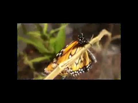 Mi Monarca - Metamorfosis - Mariposa Monarca