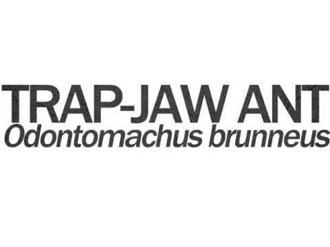Trap Jaw Ant Bite Trap-jaw Ant Odontomachus