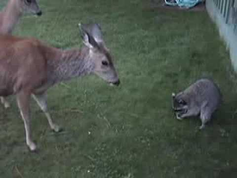 Deer vs Raccoon