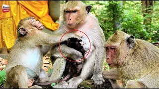 Sweetpea stupid crazy, he fights new baby and mum, mum angry Youlike Monkey 744