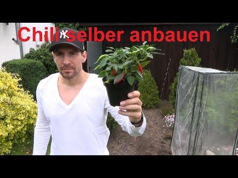 Chili anbauen Chili anpflanzen Chili einpflanzen so wird es gemacht sehr scharfe Chili anbauen