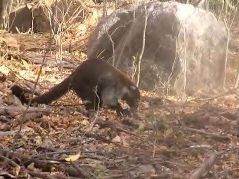 Monos Carnivoros en Costa Rica