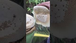 Ra vườn hốt ong ruồi cái kết bị dí sml
