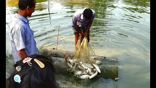 Net Fishing | Catching Lot Of Fish With Cast Net | Net Fishing in the village (Part-117)
