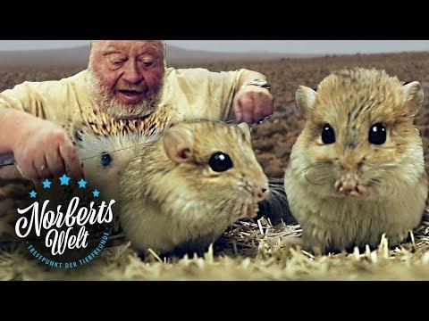 WAHNSINNIG süße FETTSCHWANZRENNMÄUSE | Die ZUNGENBRECHER! | NORBERTS WELT | Zoo Zajac
